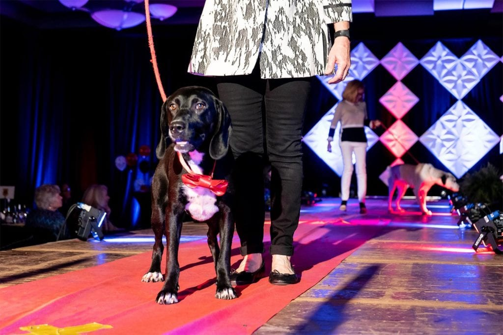 dog walking down the runway at Rescues on the Runway
