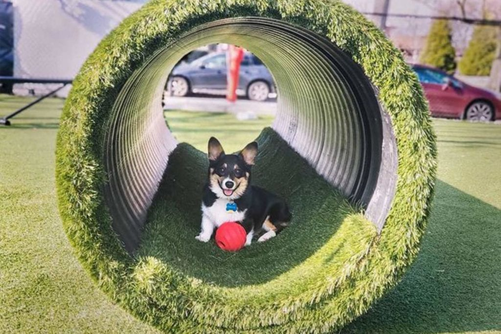Finnigan the corgi sitting in the tunnel at Play Wash Pint; Photo by Emily Long